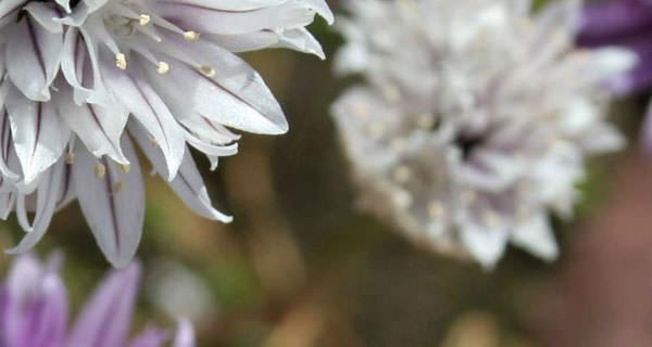 lauchmalweiss
